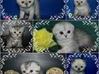 Фото в Кошки и котята Продажа кошек и котят Предлагаю Шикарных Британских, шотландских в Москве 3000