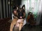 Смотреть изображение Вязка собак Ищем девочку немецкой овчарки для вязки 38908408 в Дмитрове