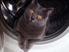 Увидеть фотографию  Отдам в добрые руки Британскую кошку! 60533480 в Дмитрове
