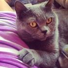 Британская кошечка ищет вислоухого котика за символическую плату)
