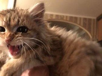 Сибирская красавица, необычного окраса, девочка , 2,5 месяца,  Проглистована, абсолютно здорова, веселая , игривая , не совсем ручная,  По повадкам- 100% мышеловка! в Дмитрове