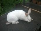 Свежее изображение  Продам кроликов 37093531 в Донецке