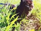 Новое изображение Вязка кошек ПЕРСИДСКАЯ кошка ищет КОТИКА для вязки 67709908 в Дубне