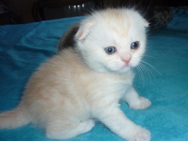 Кошки и котята породы Шотландская  купить из питомников и