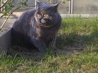Foto в Потерянные и Найденные Потерянные Потерялся кот в коллективном саду № 38 ( в Екатеринбурге 0