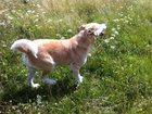 Фотография в Собаки и щенки Продажа собак, щенков Сильный, умный и преданный пёс ищет хозяев, в Екатеринбурге 0