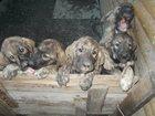 Фотография в Собаки и щенки Продажа собак, щенков Продаются элитные щенки Испанского мастифа. в Екатеринбурге 0