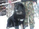 Изображение в Домашние животные Разное продаются подростки тибетского мастиффа от в Екатеринбурге 50000