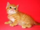 Фотография в Кошки и котята Продажа кошек и котят Экзотический котенок, мальчик, очень ласковый, в Екатеринбурге 7000