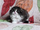 Фото в Кошки и котята Вязка Предлагается к продаже кот - хайленд – фолд, в Екатеринбурге 25000