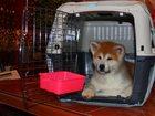 Уникальное фото Продажа собак, щенков Авиа перевозка щенков и кошек из Москвы по всей России, 34517919 в Екатеринбурге