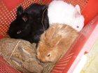 Фотография в Домашние животные Грызуны Продам кроликов мясной породы: фландр, венский в Екатеринбурге 500