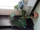 Фотография в Домашние животные Растения 10 листьев, в офис, ул. Шейнкмана-Челюск в Екатеринбурге 5000