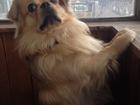 Фото в Собаки и щенки Вязка собак Бакс 3 года , помесь чихуахуа и шпица ищет в Екатеринбурге 0