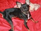 Фото в Собаки и щенки Вязка собак Абсолютно безвозмездно красавец желает полюбить в Екатеринбурге 1