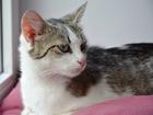 Фото в   Ищет добрые руки кошка Мышка. Глаза голубые, в Екатеринбурге 0