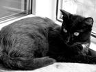 Изображение в Отдам даром - Приму в дар Отдам даром Ищет добрые руки зеленоглазый черный котик в Екатеринбурге 0