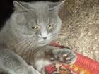 Изображение в Кошки и котята Продажа кошек и котят продам британского кота , возраст 1, 4 м в Екатеринбурге 6000