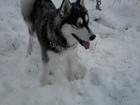 Фото в Собаки и щенки Вязка собак кобель по кличке Демон ищет подружку для в Серове 0