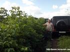 Фото в   В наличии саженцы хвойных лиственных растений: в Екатеринбурге 12