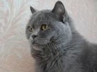 Фото в   Отдается в добрые руки кот Макс британской в Екатеринбурге 0