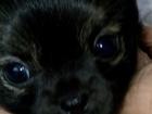 Фото в Собаки и щенки Вязка собак Продаются щенки 2 девочки и 2 мальчика , в Екатеринбурге 0