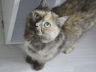 Фото в   Отдам в добрые руки британскую кошку Халву. в Екатеринбурге 0