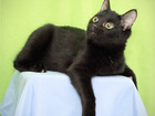 Фотография в Отдам даром - Приму в дар Отдам даром ПикАссо – юный кот 9 мес. , чёрный-пречёрный, в Екатеринбурге 0
