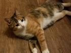 Изображение в Кошки и котята Вязка Который сможет укротить мою любимую кошечку в Екатеринбурге 0