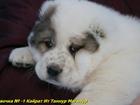 Изображение в Собаки и щенки Продажа собак, щенков Питомник Кайрат Ит предлагает к продаже щенка в Екатеринбурге 25000