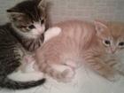 Увидеть фото Отдам даром - приму в дар отдам в хорошие руки красивых и шустрых котят 38368273 в Екатеринбурге