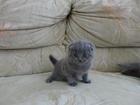 Фото в Кошки и котята Продажа кошек и котят две плюшевые девочки возраст 1 мес. ждут в Екатеринбурге 5000