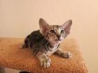 Фото в Кошки и котята Продажа кошек и котят Питомник ориентальных кошек Bersia предлагает в Екатеринбурге 15000