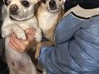 Увидеть фотографию Вязка собак Кобель на Вязку 38467250 в Екатеринбурге