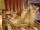 Изображение в Кошки и котята Вязка Срочно ищу вязку не дорого 3000 или ваше в Екатеринбурге 3000