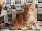 Изображение в Кошки и котята Продажа кошек и котят Продаются клубные котята мейн-кун. Мать чемпион, в Екатеринбурге 8000