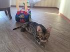 Скачать бесплатно foto Вязка Бенгальский кот на вязку 38682772 в Екатеринбурге