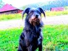 Скачать бесплатно foto Вязка собак Ищем кобелька для вязки породы цветная болонка, 39543306 в Екатеринбурге