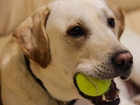 Смотреть foto Вязка собак Лабрадор опытный кобель для вязки 41182488 в Екатеринбурге