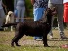 Скачать бесплатно foto Вязка собак Шоколадный лабрадор-ретривер ищет подружку 41616515 в Екатеринбурге