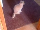 Смотреть фотографию Другие животные Вязка кошек, Приглашаем даму, Шотландский кот 43737190 в Екатеринбурге