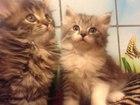 Котята метисы, котяткам 1,5 месяца