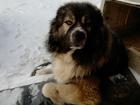 Новое фото Вязка собак Кобель кавказской овчарки с документами ищет подругу 53654912 в Екатеринбурге
