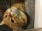 Уникальное foto  Кот ищет кошку любой породы для вязки 54774963 в Екатеринбурге