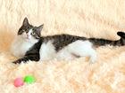 Увидеть изображение  Кошка Амели, 1г, , нереальная ласкуша 61796039 в Екатеринбурге
