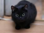 Просмотреть изображение Вязка кошек Требуется чёрный кот короткошёрстный 63396801 в Екатеринбурге