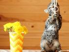 Увидеть изображение Отдам даром - приму в дар Котята Вафля и Бисквит, девочка-камышка и мальчик ч/б 2 мес, 67657435 в Екатеринбурге