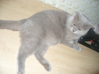 Свежее foto Вязка кошек Развязанный котик по имени Кася ищет милую кошечку, чтобы немного пошалить, 67876574 в Екатеринбурге