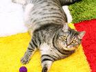 Смотреть изображение  Гейзер, огромный мегаласковый котище 2-3г, 69311425 в Екатеринбурге