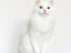 Уникальное foto  Шикарный голубоглазый кот Салливан, 4г 70833991 в Екатеринбурге